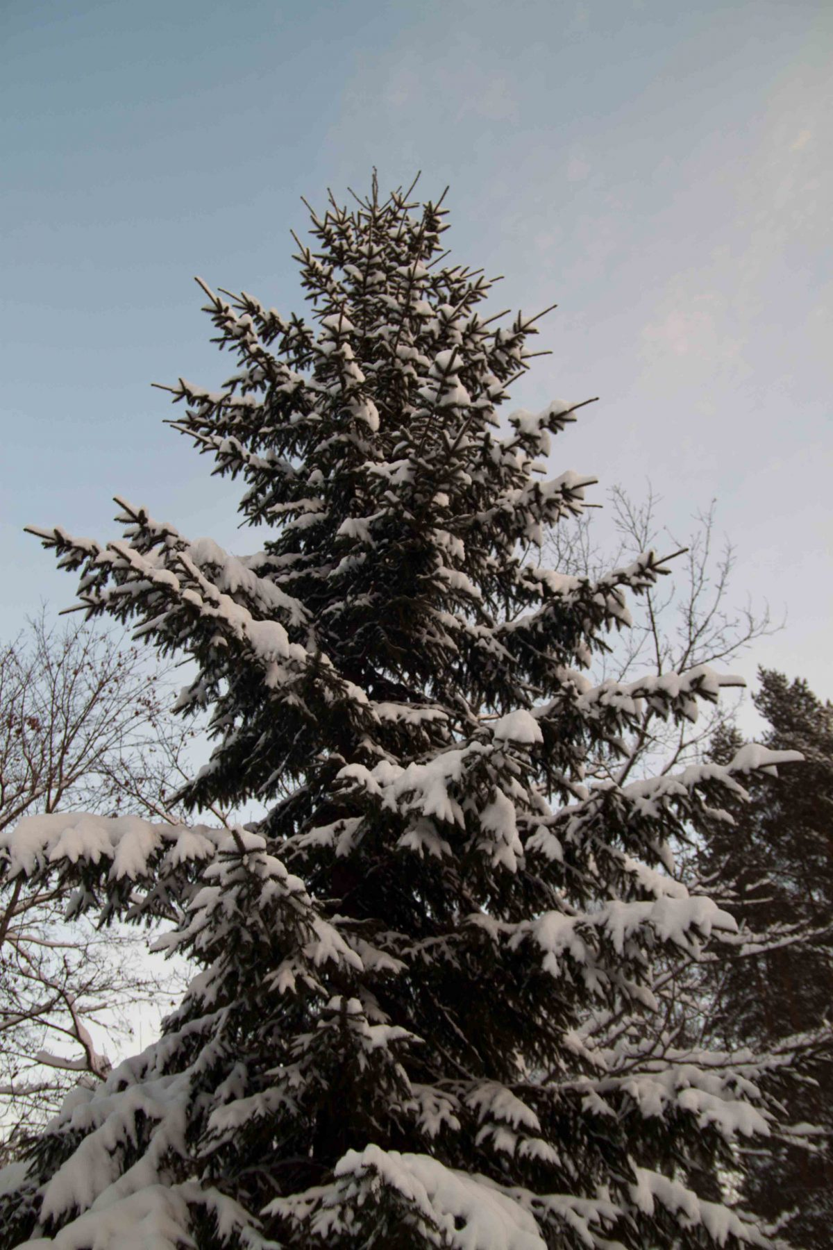 Gran med snö på
